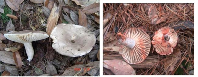 含剧毒的亚稀褶红菇。
